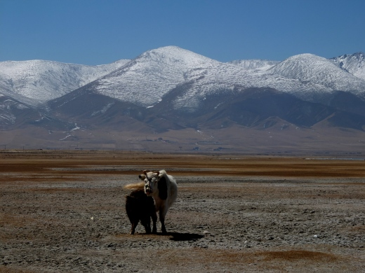 Yak! Grasslands! It must be Amdo.
